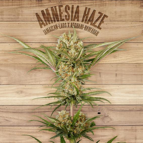 The Plant Organic Seeds 2-1 Amnesia Haze Sativa Feminizada Flor