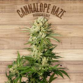 The Plant Organic Seeds 2-2 Cannalope Haze Sativa Feminizada Flor