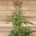 The Plant Organic Seeds 2-3 Cheese Hibrida Feminizada Caliz