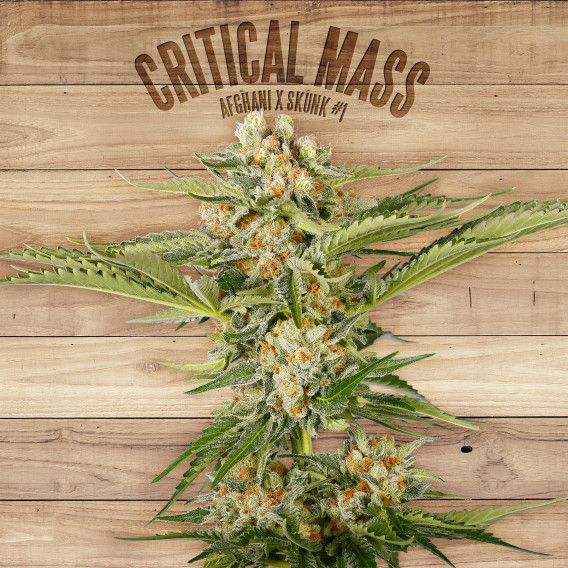 The Plant Organic Seeds 2-4 Critical Mass Hibrida Feminizada Flor