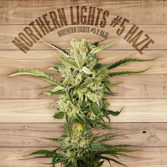 The Plant Organic Seeds 2-5 Northern Lights #5 Haze Sativa Feminizada Flor