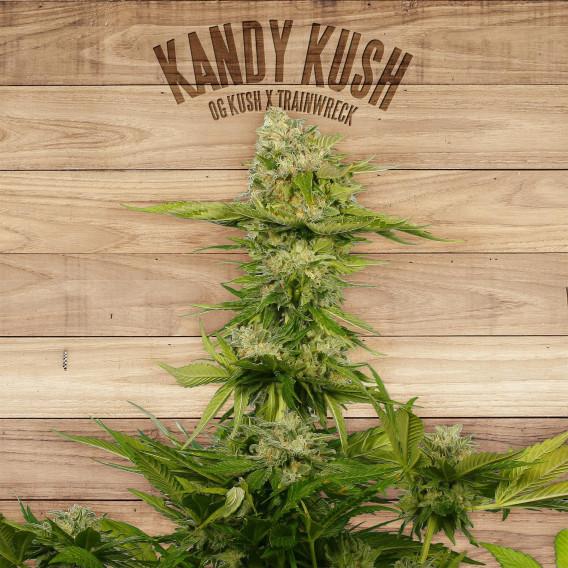 The Plant Organic Seeds 3-2 Kandy Kush Indica Feminizada Flor