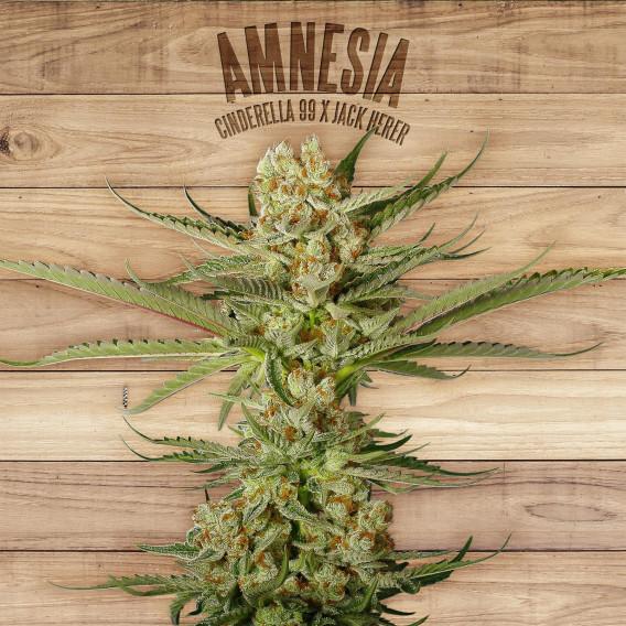 The Plant Organic Seeds 4-1 Amnesia Sativa Feminizada Flor