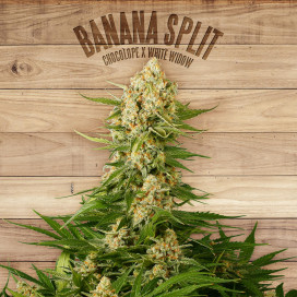 The Plant Organic Seeds 4-2 Banana Split Sativa Feminizada Flor