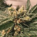 The Plant Organic Seeds 2-4 Critical Mass Hibrida Feminizada Caliz