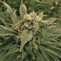 The Plant Organic Seeds 2-5 Northern Lights #5 Haze Sativa Feminizada Caliz