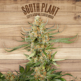 The Plant Organic Seeds 1-1 South Plant Sativa Feminizada Flor
